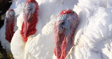 Pardoned White House turkey Abe, right, with other members of the  growing flock at Morven Park.