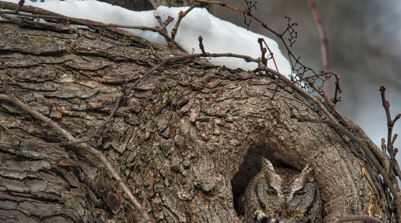UNITED STATES - Jan. 26, 2016: One Loudoun storm survivor (Eastern Screech Owl :: Otus asio) emerged today after the blizzard of 2016 dumped 3 feet of snow in Western Loudoun. His roof is still holding snow but he has cleared his driveway! (Photo by Douglas Graham/Loudoun Now)