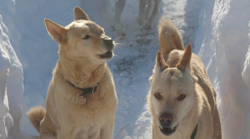 Three rescue Korean Jindos romping in the snow, front to back; Luka, Emma and Jasmine Blossom, at their home in Taylorstown.