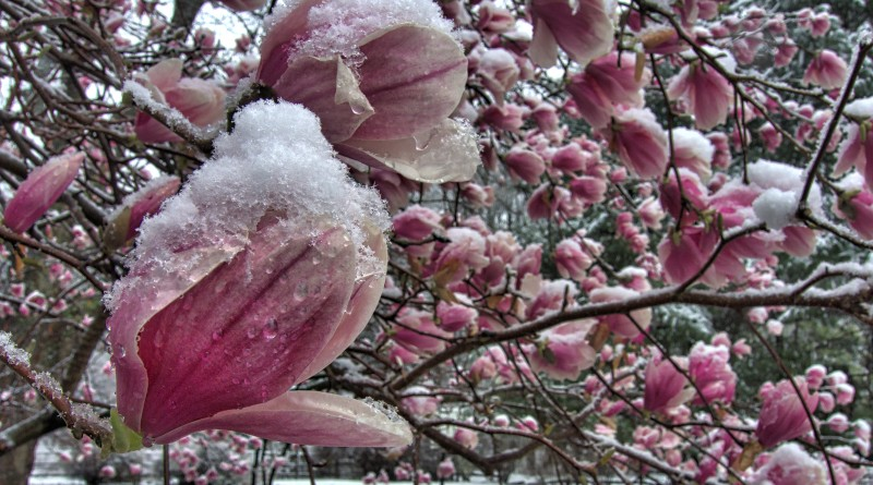 A saucer magnolia is covered in a late season snow storm. (Photo by Douglas Graham/Loudoun Now)