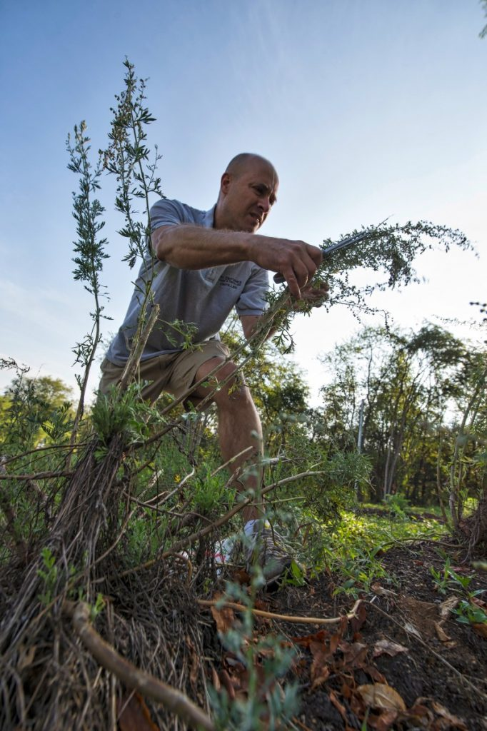 Peter Ahlf picks grand wormwood and hyssop herb to be used to distil absinthe. (Douglas Graham/Loudoun Now)