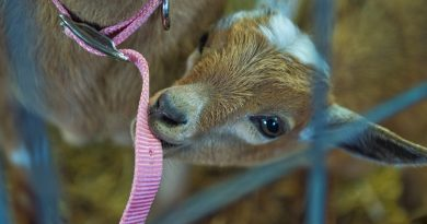 It's true that goats eat everything! This little guy was having a taste of mom's collar at the Loudoun County Fairgrounds. (Douglas Graham/Loudoun Now)