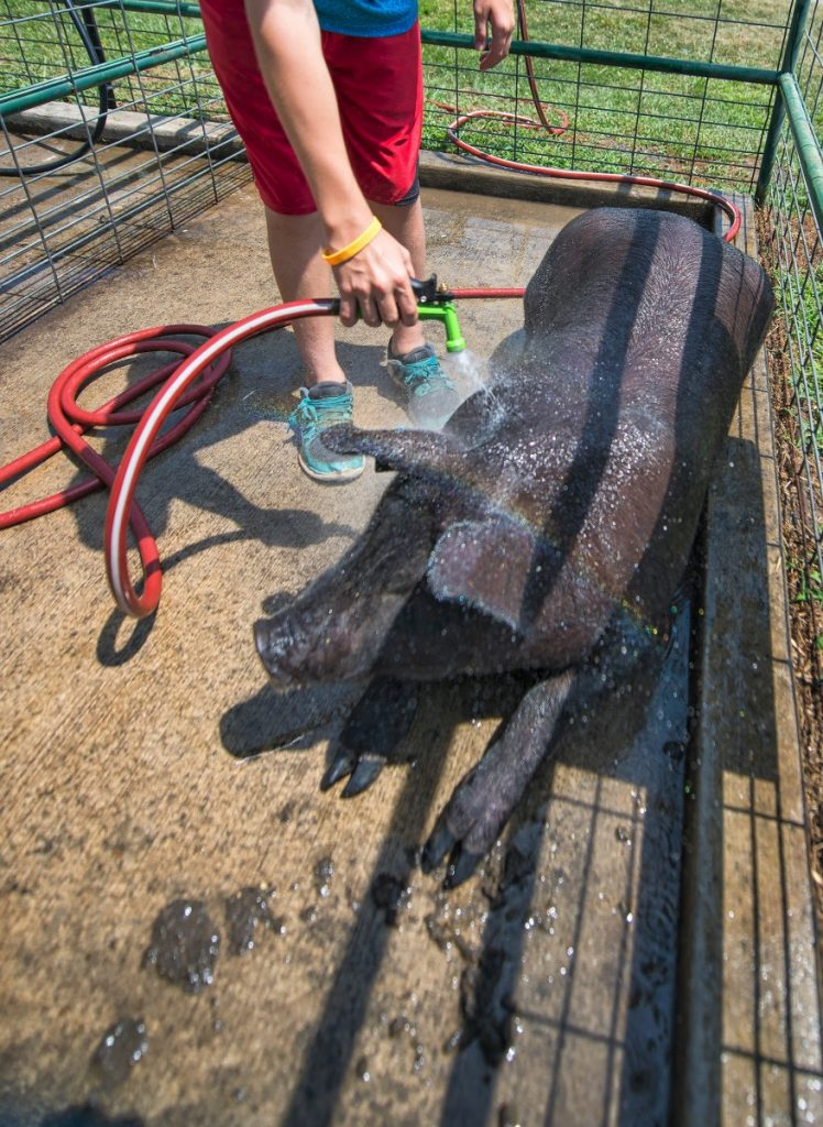 James Dick keeps his pig cool and gives him a bath during record setting heat at the Loudoun County. (Douglas Graham/Loudoun Now)