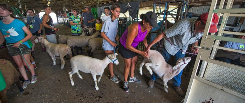 Allyson Alto and Dan Virts struggle with a stubborn sheep during the sheep and goat weigh-in at the Loudoun County Fairgrounds on Monday. (Douglas Graham/Loudoun Now)