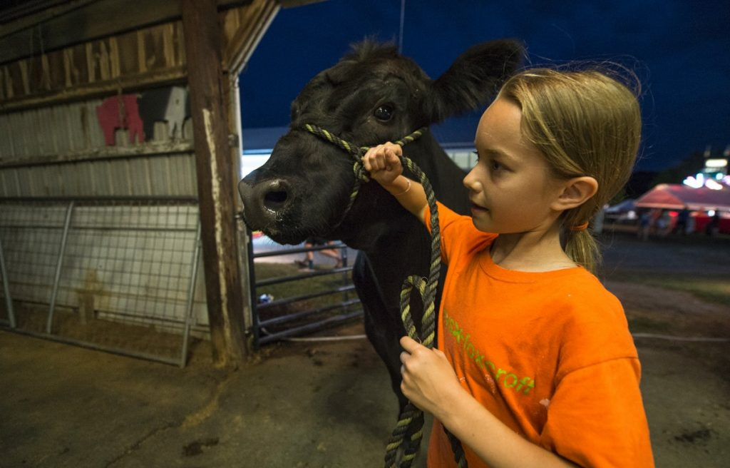 """Erin Calley, age 12, of Middleburg, walks her steer into the """"weigh-in"""" at the Loudoun County Fair on Monday. (Douglas Graham/Loudoun Now)"""