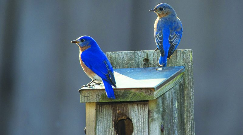 A pair of blue birds select a nesting box on the first day of spring.   (Photo by Douglas Graham/Loudoun Now)