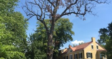The diseased white oak in front of The Marshall House was cut down last week.