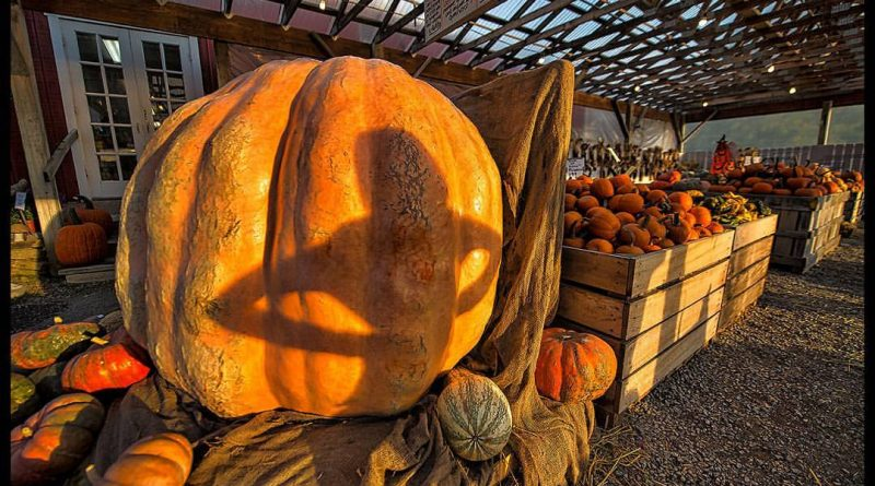 A 1,600 pound pumpkin grown in Pennsylvania will be front and center at Monday night's Leesburg Halloween parade. The giant pumpkin is on display right now at Nalls Farm Market on Route 7 in Clarke County, VA. [Douglas Graham/Loudoun Now]