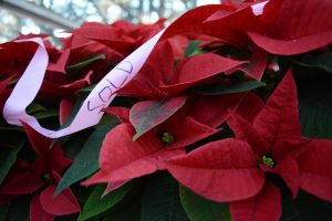 Many of the plant sale's poinsettias are sold months in advance. (Renss Greene/Loudoun Now)