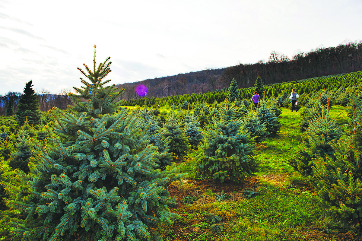 UNITED STATES - December 12, 2015: Snickers Gap Christmas Tree Farm is a family owned choose-and-cut Christmas tree farm located near Bluemont, Virginia. The farm is situated on the eastern slope of the Blue Ridge Mountains and has been operated for 35 years growing beautiful fir and spruce trees, while also providing a view of the Loudoun Valley and points beyond. (Photo by Douglas Graham/Loudoun Now)