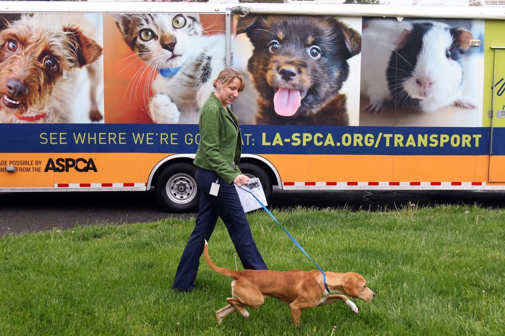 A pup takes a stroll at the Loudoun County Animal Shelter Thursday, April 28, after a 15-hour car ride from New Orleans. (Courtesy of Nicole Falceto)