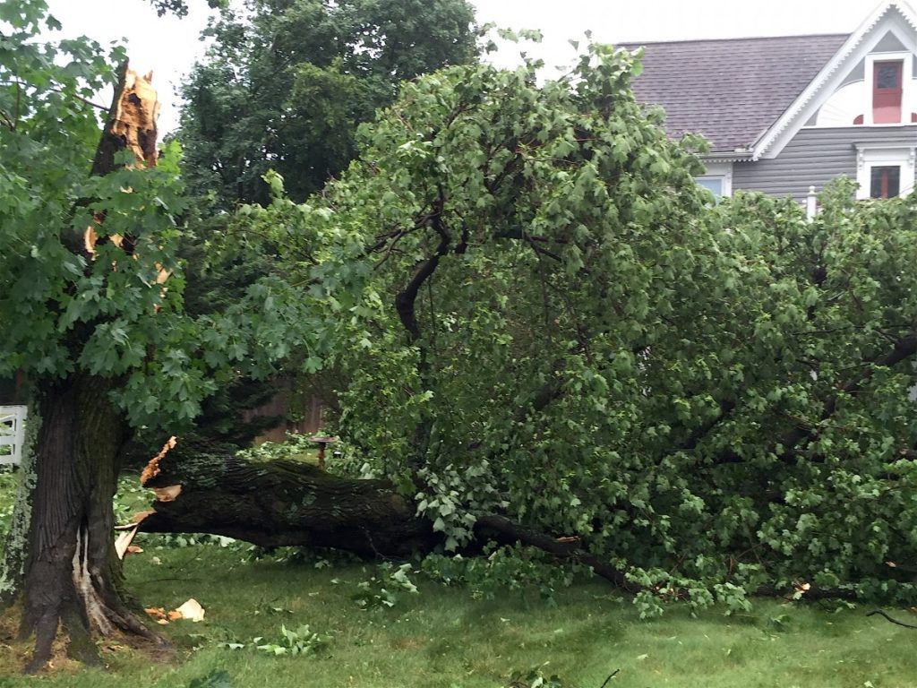 A large poplar tree at the center of Round Hill was twisted apart during Thursday's storm.