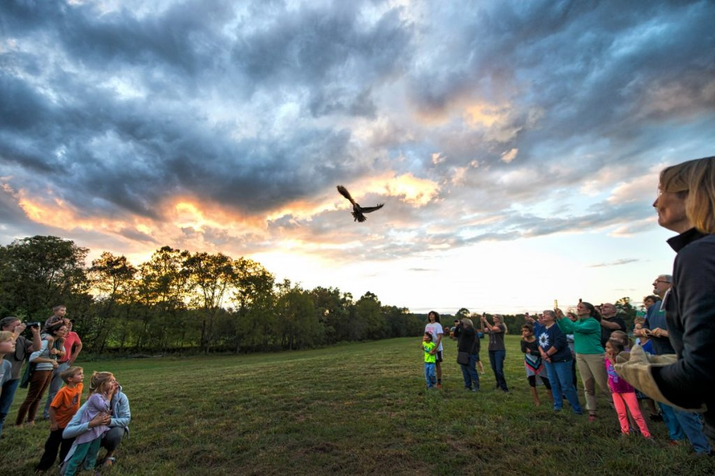 The great horned owl is released near Phillips Farm, which is expected to provide a good habitat for the fledgling bird, that had been found injured and was treated by Veterinarian Belinda Burwell . [Douglas Graham/Loudoun Now]