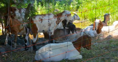 Two Goats Die as Weed Work in Leesburg Continues